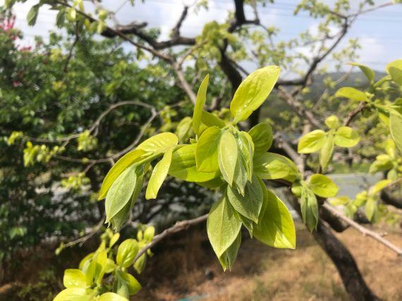 浜松 次郎柿