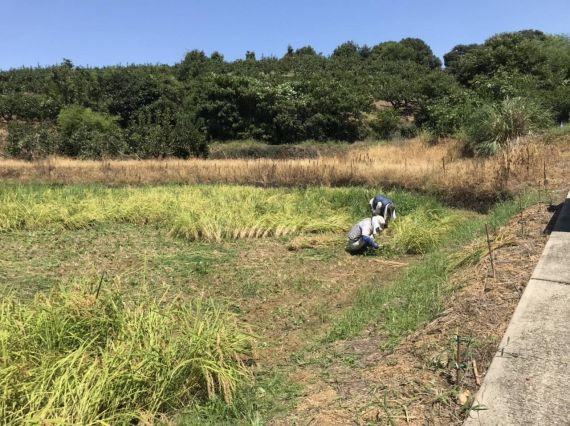 足立柿園 稲刈り