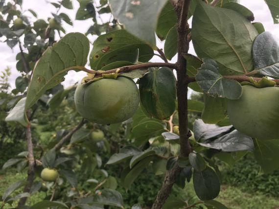 浜松 太秋柿