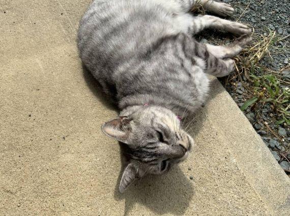 足立柿園 猫