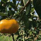早秋柿の収穫