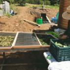 柿の葉茶作り!