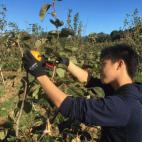 次郎柿 収穫