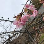 春の訪れ 河津さくら