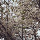 四季桜が咲きました