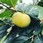 太秋柿 収穫まじか