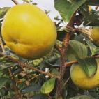 太秋柿の収穫と販売開始