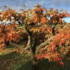 柿の葉っぱの紅葉
