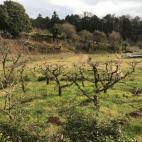 足立柿園 柿狩り園の無料開放
