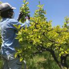 次郎柿の摘蕾作業2020