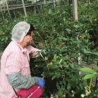 ブルーベリーの収穫6月15日