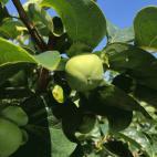 次郎柿の摘果作業2020