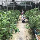 ブルーベリーの収穫6月22日