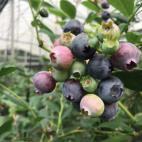 浜松ブルーベリーの収穫6月24日