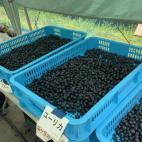 浜松ブルーベリーの収穫6月26日
