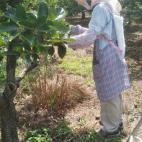 足立柿園 摘果の進捗