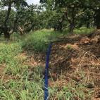 次郎柿畑の冠水作業
