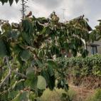 柿の木のピンチ