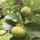 次郎柿の成長記録