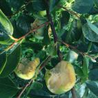 次郎柿の鳥害