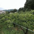 次郎柿を鳥から守る!