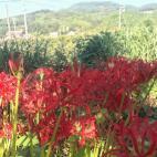 次郎柿の成長