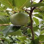 次郎柿の成長2