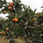 次郎柿の収穫が始まりました