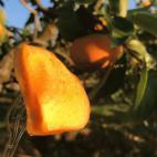 柿のカットフルーツ
