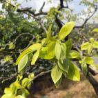 次郎柿の新芽