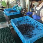 ブルーベリーの収穫と選果