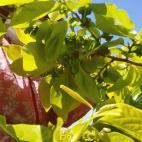 次郎柿の摘蕾作業 順調です!