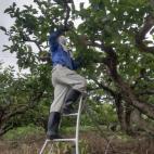 次郎柿の摘果