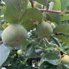 次郎柿の摘葉