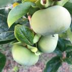 柿の大きさ 8月8日