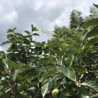 次郎柿の生育