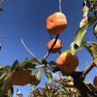 柿のポリフェノール