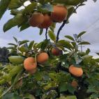 柿の色づき